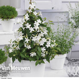 Mandevilla Blooms Bells® White