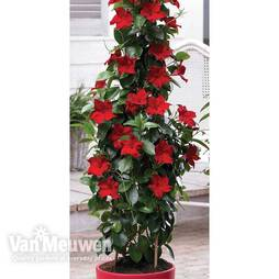 Mandevilla 'Bloom Bells® Red'