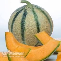 Melon 'Perseus' F1 Hybrid