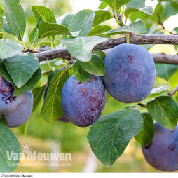 Plum Black Amber (Mini Fruit Tree)