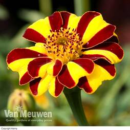 Marigold 'Jesters Mix™'