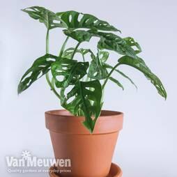 Monstera 'Monkey Leaf' (House Plant)
