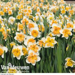 Narcissus 'Hungarian Rhapsody'