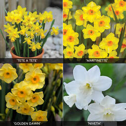 Daffodil 'Dwarf Collection'