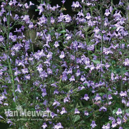 Nepeta Marvelette Blue