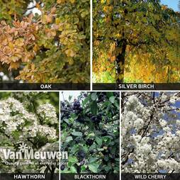 Native Hedging Collection (Silver Birch, Wild Cherry, Hawthorn, Blackthorn, Oak)