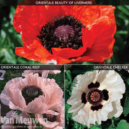 Poppy 'Oriental Collection'