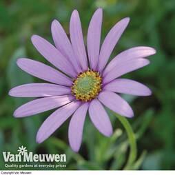 Osteospermum jucundum var. compactum (Hardy)