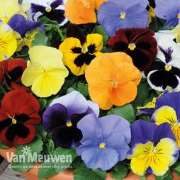Pansy 'Most Scented Mix' Patio Kit