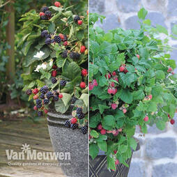 Patio Berry Collection