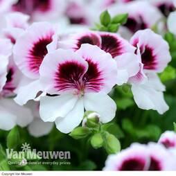 Pelargonium mosquitaway 'Lizzy Angel'