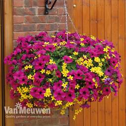 Petunia Surfinia Purple & Bidens Pre-Planted Basket