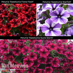 Petunia 'Sweetunia Trio'