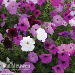 Petunia Tickled Pink Climbing Collection