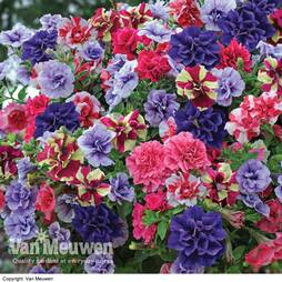 Petunia 'Frills & Spills™' Fragrant Mix