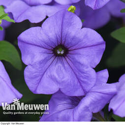 Petunia 'Evening Scentsation'