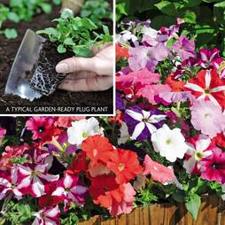 Petunia 'Frenzy Mix' (Garden ready)