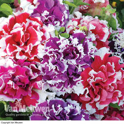 Petunia Double Orchid Picotee Mix