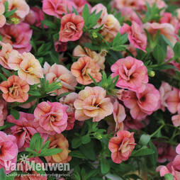 Petunia 'Mini Rosebud Romantic Peachy'