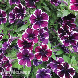 Petunia 'Sweetunia Miss Marvelous'