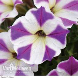 Petunia 'King of Diamonds'