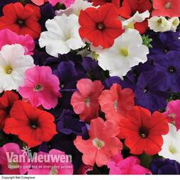 Petunia 'Express Mixed'