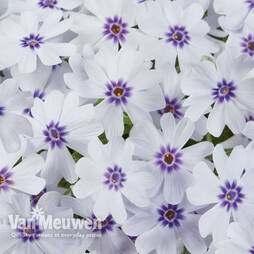 Phlox 'Pharaoh Blue Eye'