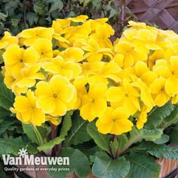 Polyanthus 'Stella Lemon Sherbert'