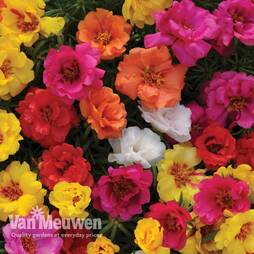 Portulaca grandiflora 'Happy Hour Mixture'