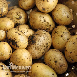 Potato 'Maris Piper'
