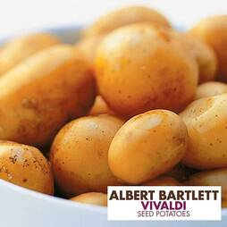 Potato 'Vivaldi'