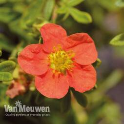 Potentilla fruticosa 'Marian Red Robin'