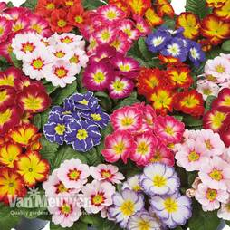 Primrose 'Arizona Bicolor'