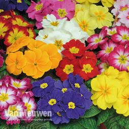 Primrose 'Bonneli Mixed'' 12 Pre-Planted Rattan Hanging Basket