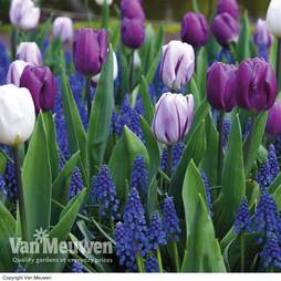 Tulip and Muscari 'Purple Rain Mix'