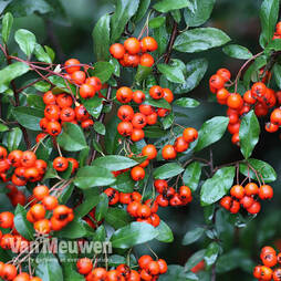 Pyracantha 'Orange Glow' (Large Plant)
