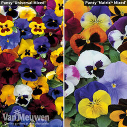 Pansy Winter Flowering Duo