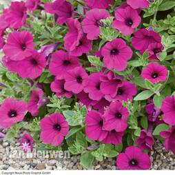 Petunia F1 Purple Wave
