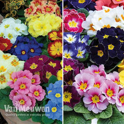 Winter Primrose Duo