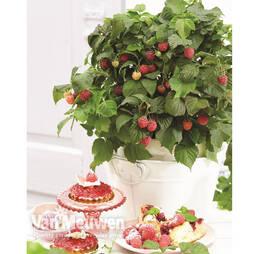 Raspberry 'Yummy'