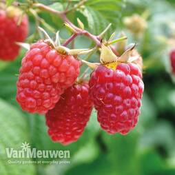 Raspberry 'Glen Prosen' (Summer fruiting)