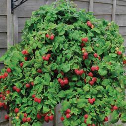 Raspberry 'Ruby Falls®'