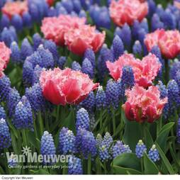 Tulip and Muscari 'Regal Mix'