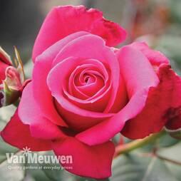 Rose 'Charisma'