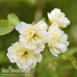 Rose banksiae 'Lutea' (Climbing)