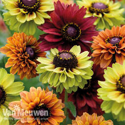 Rudbeckia 'Savannah Mixed'