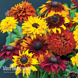 Rudbeckia 'All Sorts Mixed'