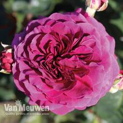 Rose Home Florist Timeless Collection
