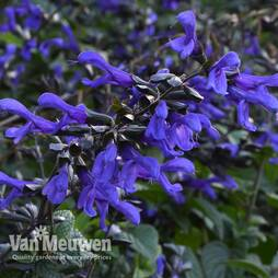 Salvia Bodacious™ Rhythm and Blues