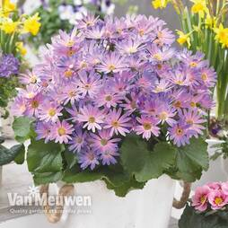 Senetti 'Magic Salmon'